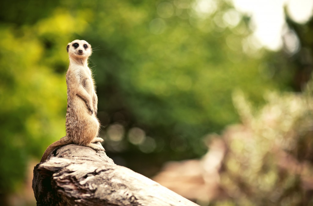 Sitting upright Meerkat (Surikate)